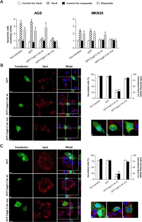 Helicobacter pylori counteracts the apoptotic action of its vaca toxin