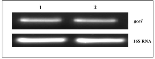 Agarose-gel showing amplified products obtained by reverse transcriptase-polymerase chain reaction (RT-PCR) with total RNA isolated from Azospirillum brasilense Sp7 grown in minimal (lane 1) and rich medium (lane 2). Lower strip is showing the amplification of 16 S RNA from the same amount of RNA sample as a control.