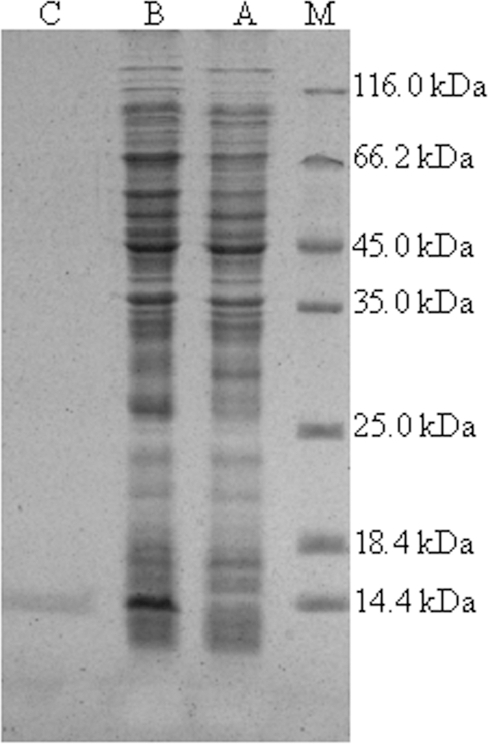 SDS-PAGE analysis of recombinant VpBD.After electrophoresis, the gel was visualized by Coomassie brilliant blue R250 staining. Lane M: protein molecular standard; lane A: negative control for rVpBD (without induction); lane B: induced expression of rVpBD; lane C: purified rVpBD.