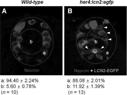 The expression of LCN2 attracts developing neurons toward medial position of the spinal cord in zebrafish. The wild-type embryo (A) or her4:lcn2:egfp-injected transgenic embryo (B) was labeled with an anti-Hu antibody to detect neurons at 24 hpf. Arrowheads indicate neurons near the lcn2:egfp-expressing cells. Dotted lines indicate a lateral margin (a) and medial position (b) of the spinal cord. Numbers indicate percentage of neuronal cells in each region. All images are transverse sections of zebrafish spinal cord, dorsal to top. The quantification of cell migration was done by enumerating the migrated cells as described in the Materials and Methods section. The results are mean±SD.