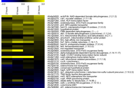 Hypoxia increases transcript levels of enzymes involved in heme biosynthesis, iron-associated and SreA-associated processes. Microarray datasets include three biological and two technical replicates to create heat maps using a median values to compare wild type Aspergillus fumigatus strain CBS144.89 at the indicated times after exposure to hypoxia to time point immediately prior to hypoxia exposure (0 hours). Yellow indicates transcript level is higher under exposure to hypoxia. Data are sorted by the late time point (24 hours post exposure to hypoxia).