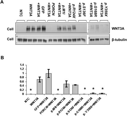 Cell-based WNT3A secretion assay.(A) Western blot showing WNT3A levels in total cell lysates after transient transfection. (NTC, non-transfected control). (B) Quantification of WNT3A levels in cell lysates. Co-expression of WNT3A with wild type PORCN (WNT3A+PORCN) results in disappearance of WNT3A from the cell lysate compared to WNT3A alone or WNT3A+GFP. In contrast, co-expression of mutant PORCN forms p.M1I and p.R124X with WNT3A causes WNT3A retention in cells, but other mutations, p.S136F, p.G168R, and p.Y359X, do not affect WNT3A secretion. We compared WNT3A levels in cells co-transfected by WNT3A and either wild type or mutant PORCN forms to WNT3A levels in cells expressing WNT3A+GFP, because these contain similar amounts of transfected DNA. Fold changes with standard deviation are shown; all data were normalized to β-tubulin; (*) indicates significant difference at p<0.05; the experiment was repeated 4 times.