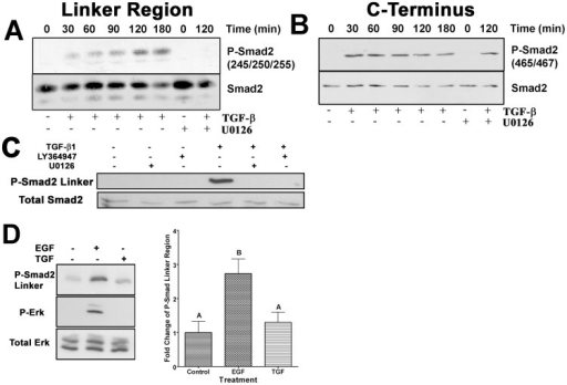 TGF-β directs Erk phosphorylation of Smad2 linker region.(A) Western blots from AKR-2B fibroblast cell lysates treated with TGF-β (2 ng/ml) for the indicated time periods with or without U0126 (10 µM) for 120 min. Blots were probed for smad2 phosphorylated within the linker region at S245, 250 and 255, striped and reprobed for total smad2 to demonstrate each loading. (B) Receptor mediated phosphorylation of smad2 was also determined in the same samples using antibodies specific to C-terminal Ser 465/467. The blots were stripped and reprobed for total smad2 to demonstrate similar loading of all samples. Representative western-blots are shown with each time course performed in triplicate with consistent results. (C) Western blot and relative quantification of smad2 linker region phosphorylation in AKR-2B fibroblasts treated for 30 min. with or without TGF-β (2 ng/ml) or EGF (50 ng/ml). P-Erk blots are also shown to indicate Erk activation. Intensity of P-smad2 linker region band was determined and expressed graphically as fold increase (using total Erk band intensity as the loading control) relative to untreated control values for each experiment. The mean values of three independent experiments are shown (±SEM). Letters above each column indicate the different statistically significant (P>0.05) groupings. (D) Representative western blots showing phosphorylation of smad2 linker region of AKR-2B fibroblasts treated for 120 min. with or without TGF-β (2 ng/ml) and/or inhibitors U0126 or LY364947. Blots were stripped and reprobed for total smad 2 as a loading control.
