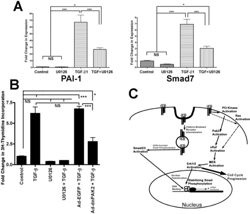 Erk activity is integral for TGF-β signaling and inducing growth in fibroblasts.(A) Fold change in expression levels of two smad regulated genes, PAI-1 and smad7, relative to untreated controls levels are shown from AKR-2B fibroblasts treated for 10 minutes with or without TGF-β (2 ng/ml), with or without U0126 (10 µM) for 3 h. The mean values (±SEM) of six independent experiments are shown with statistical evaluation indicating differences between groups as (NS) not significant, (*) P<0.05, (***) P<0.001. (B) Thymidine incorporation was determined in serum deprived NIH 3T3 cells treated with TGF-β (5 ng/ml) with or without infection with Ad-dnPAK2 or Ad-EGFP (MOI = 125∶1) or U0126 (10 µM) prior to treatment. The effect of treatment is expressed as a fold change in thymidine incorporation relative to untreated cells (control = 1). The mean (±SEM) of triplicate assays is shown with statistical evaluation indicating differences between groups as previously describe. (C) Schematic representation of TGF-β signaling pathways in fibroblasts, indicating the proposed interactions and their subcellular locations. Arrows represent a functional link between the subsequent proteins, not necessarily a direct interaction.