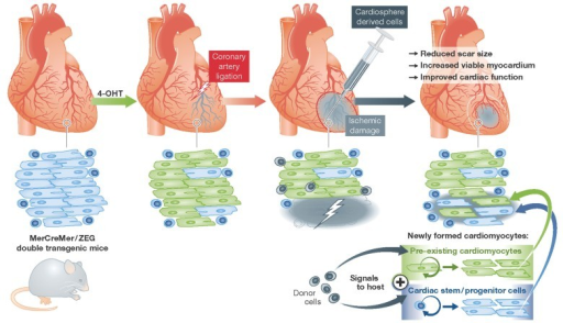 Cardiosphere-derived cells stimulate the formation of new cardiomyocytes following infarction both from preformed cardiomyocytes and from undifferentiated progenitor or stem cellsDonor cells did not stably engraft, yet conferred an improvement in cardiac structure and pump function. Fate-mapping with the Cre/lox system ascribed new cardiomyocyte creation both to proliferation of pre-existing myocytes and to the differentiation of formerly undifferentiated cells.