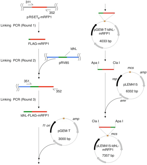 lactobacillus acidophilus gapdh cloning and expression Chapter 3: cloning, expression, purification, biophysical and biochemical   phosphate dehydrogenase (gapdh) from lactobacillus acidophilus 41.