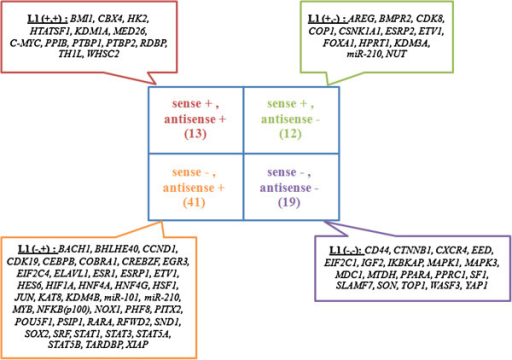 The diagram shows the 4 groups of significant siRNA genes that are associated with strand of L1s: (1) siRNA genes that were associated with genes containing sense L1s or antisense L1s (+, +), (2) siRNA genes that were associated with genes containing only sense L1s (+, -), (3) siRNA genes that were associated with genes containing only antisense L1s (−, +) and (4) siRNA genes that were not associated with genes containing sense L1s or antisense L1s (−, -) but were associated with genes containing both sense and antisense L1s.