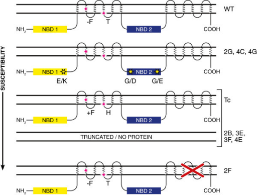 Diagram of predicted lr34 protein showing nucleotide bi open i diagram of predicted lr34 protein showing nucleotide binding domains nbd1 and nbd2 and two transmembrane domains ccuart Gallery