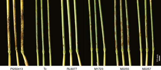 Stem rust infection on the peduncle of field grown PI 250413 (donor Lr67), Thatcher (Tc), RL6077 (Lr67) and derived mutants M1723, M2255 and M2257. M2255 was more susceptible to stem rust than Thatcher.