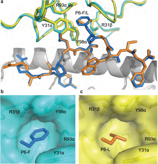 The pocket of H27-14 TCR surrounding Phe/Leu at position 6 of the Nef134-10 peptide.(a) Overlay of the H27-14 TCR-A24/Nef134-10(wt) and H27-14 TCR-A24/Nef134-10(6L). The CDR loops in the H27-14 TCR in complex with A24/Nef134-10(wt) or A24/Nef134-10(6L) are shown in cyan or yellow, respectively. The Nef134-10(wt) or Nef134-10(6L) peptides are shown in blue or orange stick models, respectively. HLA-A24 α1 but not α2 helices are shown in grey cartoon representation for clarity. (b) The side chain of Phe at P6 (stick model in blue) is surrounded by the H27-14 TCR pocket formed by the CDR loops (cyan). (c) The side chain of Leu at P6 (stick model in orange) is surrounded by the H27-14 TCR pocket formed by the CDR loops (yellow).