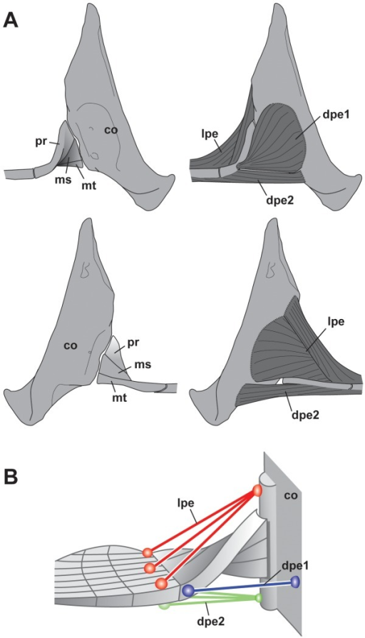 Pectoral Muscles Of The Megamouth Sharka Lateral Vie Open I