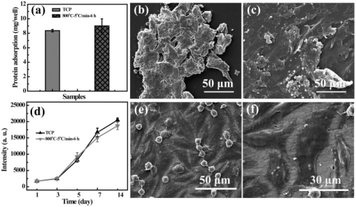 Protein adsorption and metabolic activity assay of rMSCs.(a) The adsorption of protein onto TCP and LAP ceramic (mean ± S.D., n = 3). (b) and (c) show the SEM micrographs of the TCP and LAP ceramic with protein adsorption, respectively. (d) shows the metabolic activity assay of rMSCs cultured onto TCP and LAP ceramic (mean ± S.D., n = 3). (e) shows the micrograph of rMSCs proliferated onto the LAP bioceramic for 14 days. (f) is the magnified image of (e).
