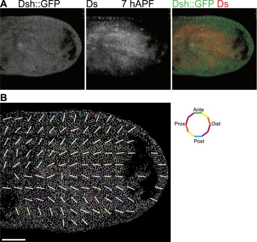 Orientations of Ds gradient and core proteins correlate in early pupal wing (7 hAPF).(A) Images of 7 hAPF pupal wings showing Ds staining and Dsh::GFP. Note the Ds staining projecting into the central part of the wing. High Ds expression retracts fully into the hinge around or shortly after 24 hAPF (Figure 3—figure supplement 3A,B). (B) A low magnification image of Dsh::GFP at 7 hAPF with overall polarity derived from OrientationJ showing the radial (P/D axis from wing hinge toward wing margin) pattern. Scale bar: 50 μm.DOI:http://dx.doi.org/10.7554/eLife.02893.011