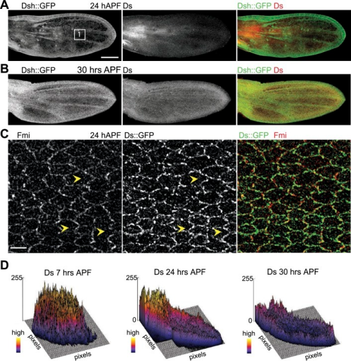 Orientations of Ds gradient and core proteins correlate in late pupal wing (24 hAPF).(A and B) Images of 24 hAPF and 30 hAPF pupal wings showing Ds staining and Dsh::GFP. (C) Note the strong overlap of Fmi and Ds subcellular localization in the central part of the wing at 24 hAPF. (D) Surface plots of Ds staining at different pupal ages showing the shape of the overall gradient. Scale bars: 100 μm for top image and 5 μm for bottom.DOI:http://dx.doi.org/10.7554/eLife.02893.012