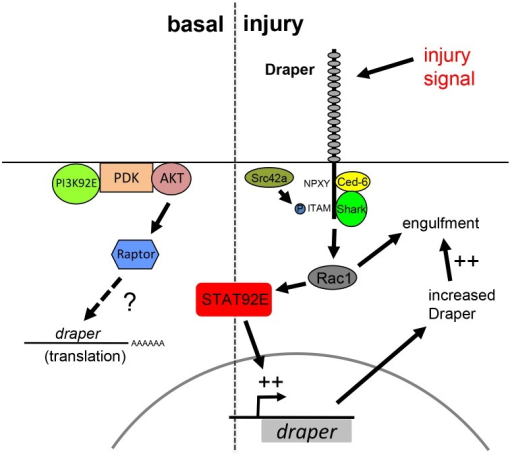 Basal and injury-induced Draper expression are regulated through two distinct pathways.Basal levels of Draper expression are dependent upon the convergent activities of PI3K and Stat92E signaling. After injury Draper signals through the Src family kinase signaling cascade (Src and Shark), and Rac1, and transcriptionally activates its own expression in a Stat92e-dependent fashion. Increased levels of Draper (and perhaps other engulfment genes) likely enhance the ability of glia to engulf axonal debris.