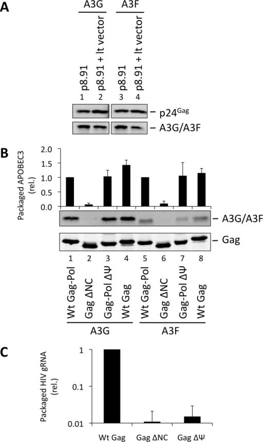 HIV-1 particles lacking genomic RNA package A3G and A3F. (A)293T cells stably expressing HA-tagged A3G or A3F were co-transfected with the packaging plasmid p8.91, and either with a vector coding for a package-competent lentiviral RNA (lt vector) or a mock plasmid. Vectors were harvested 48 h later and concentrated through a sucrose cushion. Gag proteins and A3G or A3F were visualised by immunoblot using anti-p24Gag and anti-HA antibodies. A representative immunoblot of 3 independent replicates is shown. (B) VLPs were produced by expression of the Gag protein of interest in 293T cells expressing HA-tagged A3G or A3F. Particles were concentrated and proteins detected as in panel A. Protein bands were quantified by densiometry using the Li-cor Odyssey infrared imaging and quantification software. Values obtained for A3G/A3F were divided by their respective p24Gag values. A representative immunoblot is displayed, together with a graph showing the average and standard deviation obtained for at least 3 experiments. (C) RNAs were harvested from VLPs, and genomic RNA was quantified by qPCR. The value obtained for Wt Gag-Pol VLPs was set to 1 and the other values compared to that. Values and error bars represent the average of 3 experiments and the standard deviation, respectively.