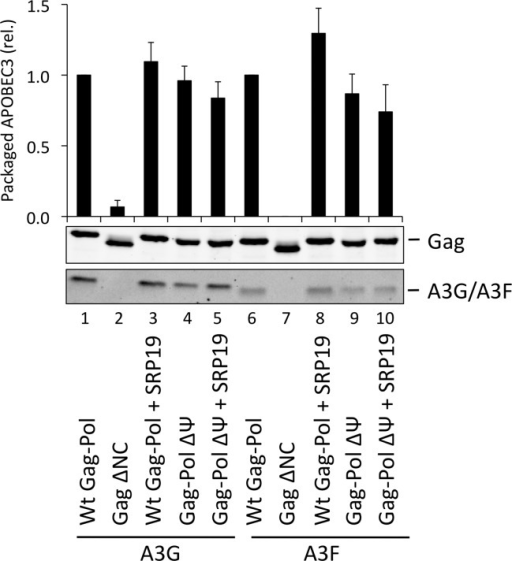 A3G and A3F are packaged into VLPs doubly depleted for genomic RNA and 7SL RNA.VLPs were produced in 293T by co-transfection with expression vectors for HA-tagged A3G or A3F and a plasmid expressing Gag-Pol, Gag-Pol ΔΨ or Gag ΔNC. SRP19 (or a negative control) was over-expressed where indicated. Gag and A3G/F proteins in concentrated VLPs were visualised by immunoblot. Proteins in VLPs were quantified as described in Fig. 2A. The average of 3 replicates with standard deviation is shown here with a representative immunoblot.
