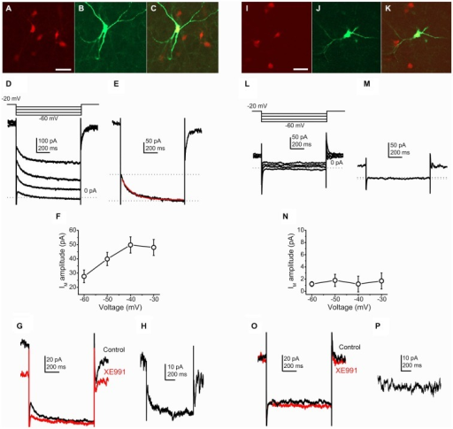 Cholinergic neurons possess M-current, whereas GABAergic neurons lack it. (A–C) Identification of a cholinergic neuron. Scale bar = 50 μm. (A) ChAT-dependent tdTomato expression (red). (B) Biocytin labeling of a recorded neuron (green). (C) Merged image. (D) Current traces from a cholinergic neuron elicited by the voltage protocol at the top of the panel. (E) Current trace at −40 mV repolarizing step. Dotted lines indicate the instantaneous (upper dotted line) and the steady state (lower dotted line) current components. The M-current was determined as the difference of these current components. The red trace indicates the fitting of the declining phase of the current (see text). (F) Voltage-dependence of the M-current amplitude (X axis: amplitudes of repolarizing current steps). (G) Pharmacological identification of the M-current (black = control; red = 20 μM XE991). (H) The XE991-sensitive current; calculated by the digital subtraction of the control and XE991-resistant current traces. The clear difference of XE991-sensitive current amplitudes recorded on −20 and −40 mV also represent the presence of M-current. (I–K) Identification of a GABAergic neuron. (I) GAD2-dependent tdTomato expression (red). (J) Biocytin labeling of a recorded neuron (green). (K) Merged image. (L) Current traces from a GABAergic neuron elicited by the same voltage protocol as on panel (D). (M) Current trace at −40 mV repolarizing step. Note that there is almost no difference between the instantaneous and steady state currents. (N) None of the repolarizing steps elicited M-current. (O) Currents from GABAergic neurons did not show XE991-sensitivity. (P) Digital subtraction of current traces under control conditions and in the presence of XE991. The lack of difference of XE991-sensitive current amplitudes recorded on −20 and −40 mV indicates that M-current was not recorded.