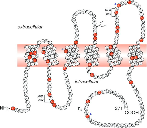 A representation of the AQP2 protein and identification of 46 putative disease-causing AQP2 mutations. A monomer is represented with six transmembrane helices. The location of the PKA phosphorylation site (Pa) is indicated. The extracellular, transmembrane and cytoplasmic domains are defined according to Deen et al. [17]. Solid symbols indicate the location of the mutations (for references, view Table 1): M1I; L22V; V24A; L28P; G29S; A47V; Q57P; G64R; N68S; A70D; V71M; R85X; G100X; G100V; G100R; I107D; 369delC; T125M; T126M; A147T; D150E; V168M; G175R; G180S; C181W; P185A; R187C; R187H; A190T; G196D; W202C; G215C; S216P; S216F; K228E; R254Q; R254L; E258K and P262L. GenBank accession numbers—AQP2: AF147092, Exon 1; AF147093, Exons 2 through 4. NPA motifs and the N-glycosylation site are also indicated.