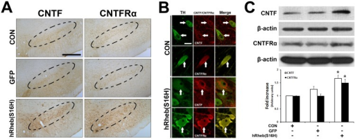 Induction of CNTF and CNTFRα by hRheb (S16H) transduction of dopaminergic neurons in the SN of rat brains.(A) The increase in CNTF and CNTFRα expression by hRheb(S16H) transduction of dopaminergic neurons in the SN of rat brains. Inside areas of the dotted lines indicate the SNpc. CON indicates the non-injected control side. Scale bars, 250 μm. (B) The increases in CNTF and CNTFRα expression in dopaminergic neurons by hRheb(S16H) transduction. White arrows indicate dopaminergic neurons (TH, green) merged with CNTF or CNTFRα (red) in the SN. Note that hRheb(S16H) transduction of dopaminergic neurons apparently increased the levels of CNTF and CNTFRα expression in dopaminergic neurons. Scale bar, 20 μm. (C) Consistent with the immunostaining results, western blotting showed increased levels of CNTF and CNTFRα in the SN 4 weeks after AAV-hRheb(S16) treatment, compared with controls. The histogram results show a quantitative analysis of density of the CNTF and CNTFRα bands normalized to β-actin for each sample. All values are expressed as mean ± SEM (*p <0.01, significantly different from CON; One-way ANOVA and Tukey post-hoc analysis; n = 4, each group)