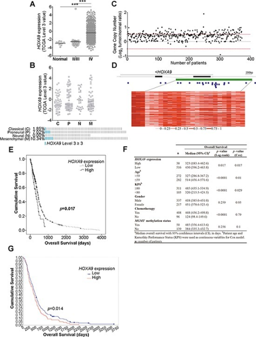 HOXA9 expression is associated with WHO glioma grade and is an independent prognostic factor in glioblastoma patients(A) Expression levels of HOXA9 in 10 unmatched normal controls, 27 lower-grade gliomas (LGG) and 572 glioblastoma (GBM) patients from TCGA. HOXA9 is significantly overexpressed in GBM patients compared to LGG or normal samples (*** = p < 0.0001). (B)HOXA9 high expression (TCGA level 3 ≥ 3) is more frequent in the mesenchymal (10.34%) and in the proneural subtypes (7.02%). (C)HOXA9 gene copy number status in 372 GBM specimens from TCGA. HOXA9 is amplified (Log2 Copy Number Tumor/Normal ≥ 0.5) in 31% (n = 114) of GBM samples. The normal copy number interval is between the red dashed lines. (D) Heatmap representation of DNA methylation levels (TCGA β-values) of the chromosomal region encompassing HOXA9 in 74 GBM samples from TCGA. A total of 25 methylation probes (blue squares) were assessed, encompassing the CpG island (> 300 bp, represented in green). The color code (grades of red color corresponding to different methylation indexes) is shown below the heatmap. Each line corresponds to a patient and each column to a probe. The lines within HOXA9 correspond to introns. (E) Kaplan-Meier survival curves of 554 GBM patients from TCGA indicate that patients whose tumors present high levels of HOXA9 expression show a statistically significant shorter overall survival when compared to those whose tumors present lower levels of HOXA9 (Log-rank test, p-value = 0.017). (F) Univariate and multivariate analyses of associations between HOXA9 expression levels and survival of patients with glioblastoma (adjusted for patient age, KPS, gender, treatment with chemotherapy, and MGMT methylation status). (G) Kaplan-Meier survival curves of 181 GBM patients from REMBRANDT dataset confirms that patients whose tumors present high levels of HOXA9 expression (78/181) present a statistically significant shorter overall survival when compared to those whose tumors present lower levels (Log-rank test, p-value = 0.014).