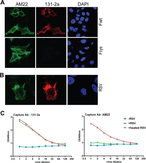Reactivity of full length RSV F proteins with pre- and postfusion-specific antibodies.(A) Cells transfected with full length F protein expression plasmids or (B) infected with RSV (strain Long) were fixed and processed for immunofluorescence analysis as described in the Materials and Methods using MAbs AM22 and 131-2a. Nuclei were stained with DAPI. Wild type F protein (Fwt) or F proteins containing cysteine pairs in HRB (Fcys; [17]) were expressed. (C) Sandwich ELISA of RSV virus particles. RSV particles (+RSV) were captured using 131-2a or AM22. Capture of virus particles was detected using a PAb against RSV. As controls the experiment was performed without adding RSV particles (-RSV) or after heating of the particles (+heated RSV).