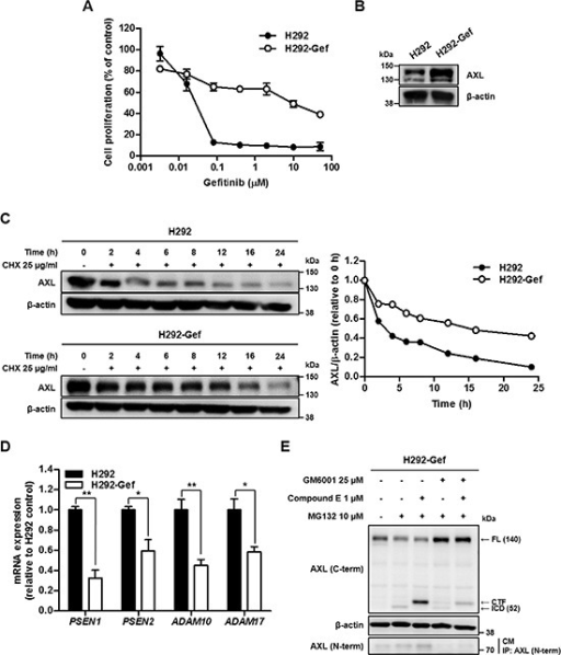 Down-regulated Turnover of AXL in Gefitinib Resistant H292 (H292-Gef) Cell Line(A) H292 and H292-Gef cells were treated with gefitinib for 72 h, and the proliferation of the cells was measured using the SRB assay. The IC50 values were calculated using the TableCurve 2D software, and the data are presented as the means ± SD. (B) The basal protein expression of AXL was determined by western blot using β-actin as the loading control. (C) The cells were treated with 25 μg/ml CHX for the indicated times. The lysates were analyzed by western blot analysis with antibody against C-terminal AXL using β-actin as a loading control. The expression levels were quantified by densitometry using ImageJ. (D) The mRNA expression of the indicated markers in cells was determined by real-time PCR, and the β-actin mRNA levels were used for normalization. The data are presented as the mean fold changes ± SD relative to the H292 control. (E) H292-Gef cells were treated with GM6001 and/or compound E overnight and then with MG132 for 3 h before being collected for western blot analysis using β-actin as a loading control. For determination of NTF, the culture medium (CM) was collected, immunoprecipitated with antibody against N-terminal AXL, and immunoblotted using anti-N-terminal AXL. The results are representative of two (C, E) or three (A, B, D) independent experiments. *P < 0.05, **P < 0.01, ***P < 0.005 by t-test.