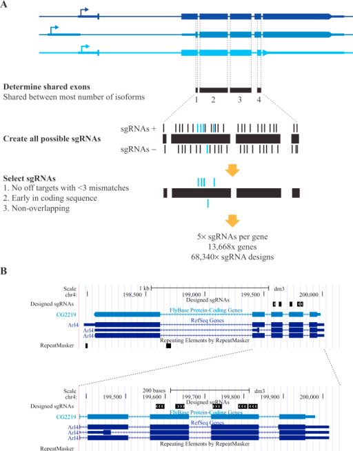 Design of a genome-wide sgRNA library.A: Strategy for library design. Fragments of coding exons shared between the maximum number of transcriptional isoforms were selected, and all possible sgRNAs of the format N20NGG were designed on both strands. Exons (blue boxes), transcriptional start sites (arrows) and untranslated regions (thick blue lines) are indicated. sgRNAs were selected based on the absence of any off-targets with less than three mismatches, and their position early in the coding sequence. Five non-overlapping sequences were selected. B: Example of designs. A screenshot from the UCSC browser shows designs for a typical gene.