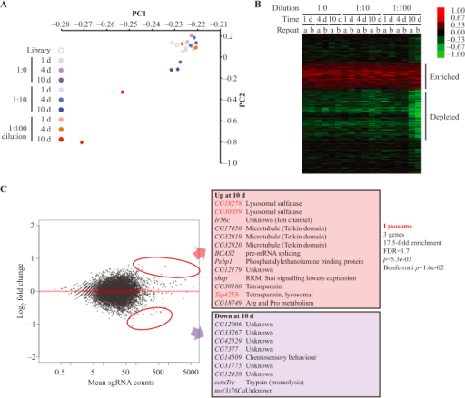 Optimisation of library screening conditions and pilot screen.A: Principal component analysis (PCA). sgRNA distributions in each condition were anlaysed by PCA. PC1 explained 98.6% and PC2 1.8% of the variance in the samples. B: Heat map of gene enrichment and depletion. Unsupervised hierarchical clustering of log2 fold change in sgRNA abundance for genes across different conditions. a and b correspond to biological replicates. Note that this does not include the entire gene set analysed, only the region that shows enrichment or depletion. C: Differential sgRNA abundance analysis. DESeq2 was used to identify statistically significant changes in sgRNA counts for all genes with ≥3 sgRNAs between samples at 1 day and 10 days (d) at a 1:100 dilution. MA plot (left panel) shows log2 fold change against sgRNA counts, with significant changes highlighted in red. Right panel shows the significantly enriched (red) or depleted (purple) genes, and functional enrichment as determined by DAVID. Lysosomal genes are indicated in bold red type.