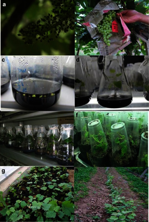 Embryo-rescue protocol for hybrid progeny from seedless Vitis vinifera grapes × wild Chinese Vitis species: (a) Inflorescence of female parent at anthesis and (b) at fruit set. (c–d) Ovules cultured in modified MM3 medium, and germinated embryos excised after 8 wk culture. (e) Whole plantlets developed from germinated embryos. (f) Tube plantlets transplanted to pots and sealed with transparent plastic cups. (g) Acclimation in a greenhouse. (h) Plants established in the field.