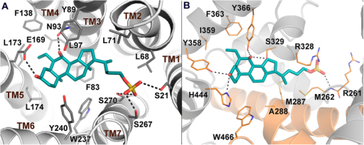 Predicted binding mode of 2 in hGPBAR1 (A) and rFXR (B).2 is shown as cyan sticks. The receptors are shown as gray and orange (helices H3, H4, and H12 in FXR) cartoons and sticks. Extracellular loops of GPBAR1 and nonpolar hydrogens are omitted for clarity.