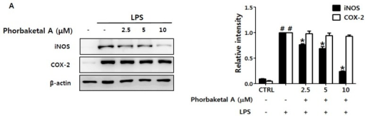 Effects of phorbaketal A on the expression of inducible nitric oxide synthase (iNOS) and cyclooxygenase-2 (COX-2) in LPS-stimulated RAW 264.7 cells. (A) RAW 264.7 cells were pretreated with different concentrations of phorbaketal A (2.5, 5, and 10 μM) for 1 h and then stimulated with LPS (1 μg/mL) for 24 h. Protein levels of iNOS, COX-2, and β-actin were determined by Western blot analysis. β-Actin was used as an internal control. The data shown are representative of three separate experiments; (B–C) RAW 264.7 cells were pretreated with different concentrations of phorbaketal A (2.5, 5, and 10 μM) for 1 h and then stimulated with LPS (1 μg/mL) for 8 h. The mRNA levels of iNOS (B) and COX-2 (C) were measured by real-time RT-PCR. Data are presented as the means ± SD of three independent experiments. Statistical analysis was carried out using the one-way ANOVA followed by the Tukey's test. #p < 0.05 vs. CTRL group. * p < 0.05 vs. LPS-stimulated group. #p < 0.05 vs. CON group. * p < 0.05 vs. LPS-stimulated group.