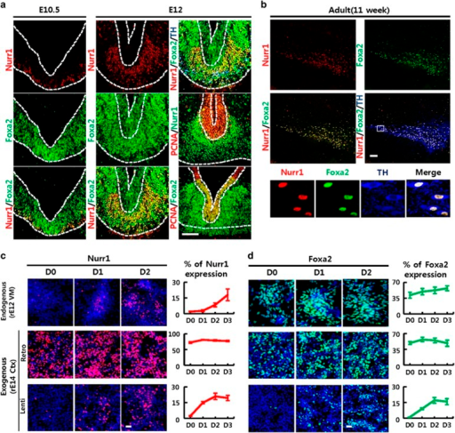 Endogenous Nurr1 and Foxa2 expression patterns during development are recapitulated in NPC cultures by exogenous expression driven by pUb in lentiviral transduction and pLTR in retroviral transduction. (a, b) Nurr1 and Foxa2 expression patterns in the developing VMs of mouse embryos at E10.5 and E12 (a) and SN in adult midbrain (b). Proliferating cells in VZ were labeled with PCNA (a) and DA neurons were labeled with TH (a, b). Shown in the bottom row of b are individual and merged images of Nurr1, Foxa2 and TH staining of the boxed area. Scale bar; 100 μm. (c, d) Exogenous Nurr1 and Foxa2 expression levels were induced in NPCs derived from the mouse embryonic cortex using transduction with Retro-pLTR vector (middle row) or Lenti-pUb vector (last row). Exogenous expression patterns were compared with those of endogenous Nurr1 and Foxa2 expressions during in vitro differentiation of NPCs derived from rat embryonic VM at E12 (upper row). Data in graphs are means±s.e.m.'s of % immunoreactive cells (n=10 microscopic fields). Scale bar, 20 μm. DA, dopamine; LTR, long terminal repeat; PCNA, proliferating cell nuclear antigen; SN, substantia nigra; TH, tyrosine hydroxylase.