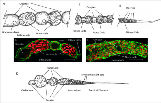 Structure of the honeybee ovary a diagram of the morp open i structure of the honeybee ovary a diagram of the morphology of an ovariole from ccuart Images