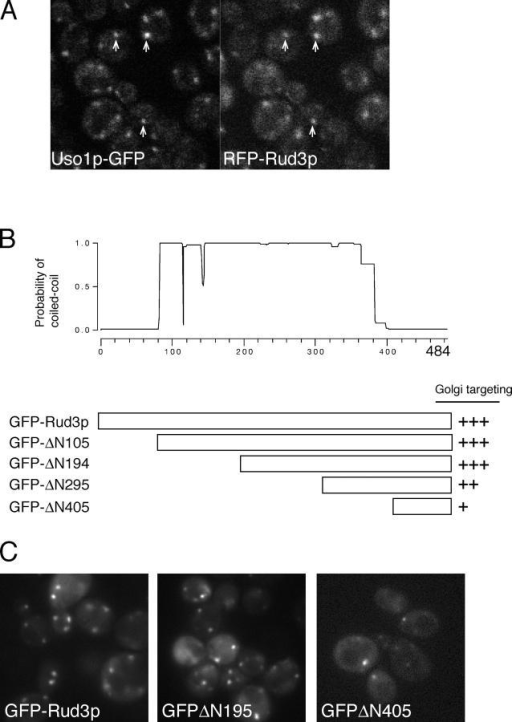 The COOH terminus of Rud3p mediates Golgi association. (A) Fluorescent micrographs of live yeast expressing the indicated fusion proteins. Uso1p was tagged with GFP at the COOH terminus in the genome of the wild-type strain BY4741, whereas RFP-Rud3p was expressed from a CEN plasmid under the control of a constitutive version of the PHO5 promoter. The two proteins were found to be localized to the same punctate structures, as illustrated by those marked with arrows. (B) Schematic diagram of truncations made in the RUD3 ORF in the yeast strain SEY6210 (Robinson et al., 1988) by insertion by homologous recombination of a cassette encoding a PHO5 promoter and an NH2-terminal GFP tag. Also shown is a coiled-coil prediction for Rud3p (Lupas, 1996). (C) Fluorescent micrographs of live yeast expressing the indicated GFP-Rud3p truncations as in B.