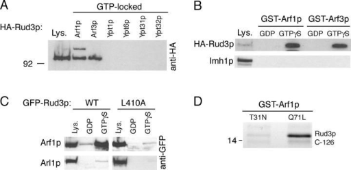 Rud3p interacts with the small GTPase Arf1p. (A) Anti-HA protein blot of total cell lysate (Lys.) from a strain expressing Rud3p tagged in the genome with an NH2-terminal HA epitope tag (AGY10) and of proteins that bound to GST fusions of the GTP-locked versions of Arf1p, Arf3p, Ypt1p, Ypt6, Ypt31p, and Ypt32p. For the GTP-locked forms of Arf1p (Q71L) and Arf3p (Q71L), the first 14 amino acids that form an amphipathic helix were removed and replaced with an NH2-terminal GST tag. For Ypt1p (Q67L), Ypt6p (Q67L), Ypt31p (Q72L), and Ypt32p (Q72L), the COOH-terminal cysteine residues were replaced with a COOH-terminal GST tag. Lysate is 10% of material applied to beads. (B) Anti-HA protein blot of total cell lysate (Lys.; 10% of material loaded) and proteins that bound to GST fusions of wild-type Arf1p and Arf3p preloaded with GDP or a nonhydrolysable analogue of GTP, GTPγS. The blot was stripped and reprobed with a rabbit antibody against Imh1p. (C) As for GST-Arf1p in B, except cell lysates were prepared from a strain expressing either GFP-Rud3p or the mutant proteins L410A expressed under the control of a constitutively active PHO5 promoter from the CEN plasmid pRS416. (D) Binding of the COOH-terminal 126 amino acids of Rud3p to Arf1p (T31N) or Arf1p (Q71L). The indicated forms of GST-Arf1p were coexpressed in E. coli with the COOH terminus of Rud3p, and after cell lysis isolated on glutathione Sepharose beads. Bound proteins were analyzed by gel electrophoresis, and the indicated band was identified as the COOH terminus of Rud3p by matrix-assisted laser desorption ionization mass spectrometry of tryptic peptides (Shevchenko et al., 1996).