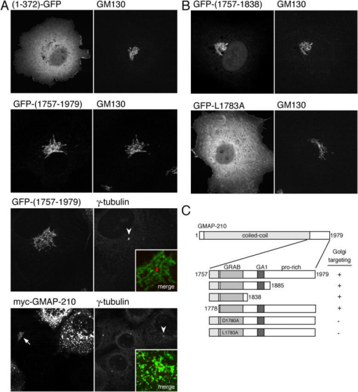 The COOH-terminal region of human GMAP-210 mediates targeting to the Golgi rather than centrosomes. (A) Confocal micrographs of COS cells expressing the NH2-terminal 372 amino acids of GMAP-210 COOH-terminally tagged with GFP, or the COOH-terminal 223 amino acids of GMAP-210 NH2-terminally tagged with GFP, or full-length GMAP-210 with an NH2-terminal myc tag. Cells were also labeled with antibodies against the endogenous Golgi protein GM130 or γ-tubulin. At very high levels of GMAP-210, normal Golgi morphology (arrow) is lost and the Golgi becomes fragmented as described previously (Pernet-Gallay et al., 2002), and yet γ-tubulin is still only on the centrosome (arrowheads indicate the centrosomes shown in merged inset). (B and C) Illustrative confocal images of COS cells expressing portions of GMAP-210 fused to GFP and costained with GM130 as in A, along with a summary of the results from all GMAP-210 portions examined.