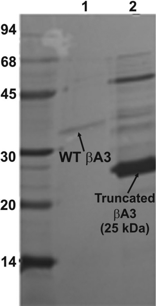 SDS–PAGE analysis of recombinant WT βA3-crystallin and after its treatment with sodium deoxycholate and size-exclusion HPLC. Lane 1 shows WT βA3-crystallin (untreated), and lane 2 shows WT βA3-crystallin with proteinase activity (after deoxycholate treatment) and size-exclusion chromatography.