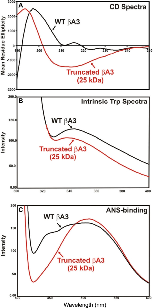 Structural changes in sodium deoxycholate-treated, 25 kDa βA3-crystallin species with proteinase activity compared to untreated, 32 kDa WT βA3-crystallin without enzyme activity. These preparations were obtained as described in Figure 6. A: The far UV-CD spectra show that the truncated 25 kDa βA3-species (red line) contains a greater level of alpha helical content than the WT-βA3 (black line). B: The intrinsic Trp fluorescence spectra show a red shift in the truncated 25 kDa βA3-species (red line) as compared to the WT-βA3 (black line). C: The fluorescence spectra after ANS-binding show a blue shift in the truncated 25 kDa βA3-species (red line) as compared to the WT-βA3 (black line).