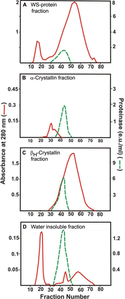 Proteinase activity in four fractions (WS proteins, α-crystallin, βH-crystallin, and membrane fractions) following treatment with sodium deoxycholate and size-exclusion Agarose A1.5 m chromatography. WS proteins (A),   α-crystallin fraction (B), βH-crystallin fraction (C), and membrane fraction (D). Each fraction was first isolated from a homogenate of six pooled lenses of donors 30–40 years old by Agarose A1.5 m chromatography. Next, each fraction was treated with the detergent and fractionated by the size-exclusion chromatography, and the column fractions were examined for their absorbance at 280 nm (red line) and proteinase activity (green line) with BAPNA as a substrate. Note that the proteinase activity eluted in the identical fractions during chromatography from each of the four fractions.