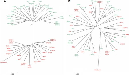 Phylogenetic relationships between 44 VAR2CSA DBL2X sequences.A. Neighbor joining tree illustrating the phylogenetic relationship between the sequences, with representatives of each of the two DSM variants marked in separate colors. 3D7-type sequences are shown in red and FCR3/It4-type in green. The bootstrap value is shown at the main bifurcation. B. Neighbor joining tree based on the same sequences, after excision of the DSM region. The 3D7/red, FCR3/It4/green variant-type coding is maintained.