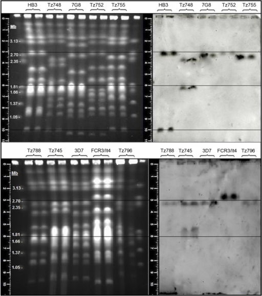 Chromosomal location of var2csa-type loci in P.falciparum isolates.Conditions for the separation of the chromosomes and DIG labeling and detection of the var2csa DBL3X domain-derived probe sequence are given in the Materials and Methods. Gel measuring rulers and superimposed alignment lines are shown. Marker chromosomes are from Hansenula wingei. Note that the two uppermost faint bands are not chromosomes but a PFG artifact. HB3, 3D7, FCR3/It4 and 7G8 are long term laboratory isolates whilst Tz745, Tz748, Tz752, Tz755, Tz788 and Tz796 are recent field isolates from Korogwe, Tanzania.