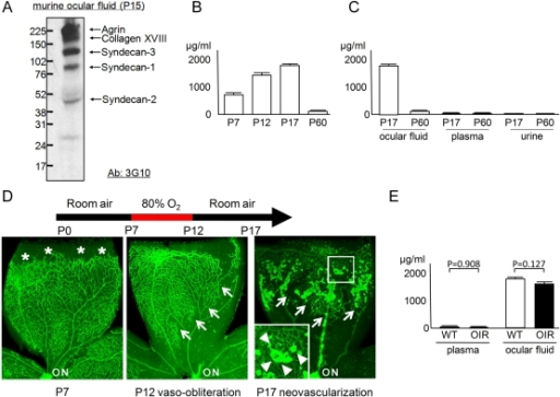 HS GAG is increased in ocular fluid.(A) Profile of HS proteoglycans in the ocular fluid. Western blotting of the ocular fluid from P15 mice revealed multiple bands that presumably correspond to agrin, collagen XVIII, syndecan-3, syndecan-1, and syndecan -2 [14], [15]. (B) Time-course profile of HS concentration in ocular fluid. HS level was increased in younger mice (P7, P12, and P17; N = 6 each) compared to older animals (P60; N = 5). (C) Comparison of HS concentration among body fluids. HS level was higher in ocular fluid compared to plasma or urine at P17 (N = 7) and P60 (N = 5), respectively. (D) GS staining of retinal quadrants in the OIR model. At the beginning of O2 exposure (P7), retinal vessels are extending toward the periphery (asterisk). The retinal vessels obliterate and regress (outlined by arrows) after exposure to 80% oxygen (P12). Returning the mice to room air results in outgrowth of extra-retinal NV at P17 (NV tufts are outlined by arrowheads in inset). Note that clumps of extra-retinal NV show stronger GS staining compared to intra-retinal vessels. (E) Comparison of HS concentration between samples from OIR and wild-type (WT) mice (N = 7 each). No difference was detected. ON: optic nerve. All statistical data are expressed as mean ± standard error of the mean (S.E.M.).