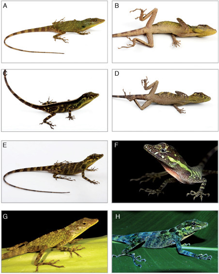 Two species of Anolis from eastern Ecuador. Anolis podocarpus sp. n.: holotype male (A, B, QCAZ 10126), female (C, D, QCAZ 10127), female (E, QCAZ 10129), juvenile (F, QCAZ 6200); Anolis fitchi: male (G, QCAZ 8770), female (H, QCAZ 9707). Photographs by L.A. Coloma (male of Anolis fitchi), F. Ayala-Varela (juvenile of Anolis podocarpus sp. n. and female of Anolis fitchi) and S.R. Ron (male and females of Anolis podocarpus sp. n.).