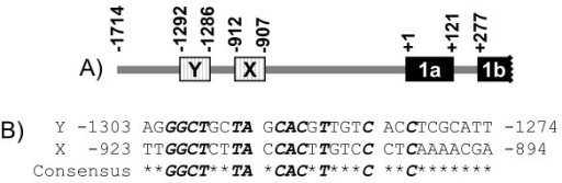 A diagram of BRCA1 promoter region and the alignment of regions spanning putative E boxes in the BRCA1 distal promoter. (A) The diagram is an illustration only representing E boxes in BRCA1 gene distal promoter and is not to scale. Positions of putative E boxes are marked by boxes with vertical lines, and regions of BRCA1 exon 1a and 1b (partial) are marked by filled boxes. The locations are relative to the transcription start site of exon 1a as +1. (B) Nucleotides that are conserved between two of the E boxes (bold and italic) are shown as the deduced consensus sequence listed below, while variable nucleotides are marked with asterisks: *.