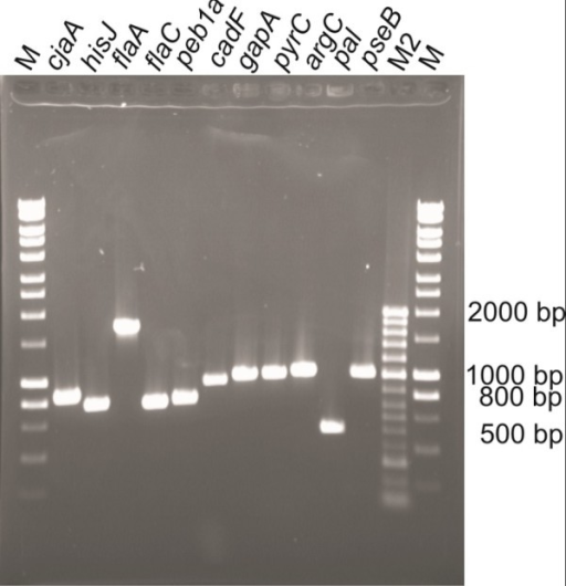 Agarose gel of PCR products after amplification of Campylobacter jejuni genes from genomic DNA. The band sizes match the respective length of each gene. Refer to Table 2 for expected gene lengths. As markers Hyper Ladder I (M) and II (M2) were used both supplied by Bioline.