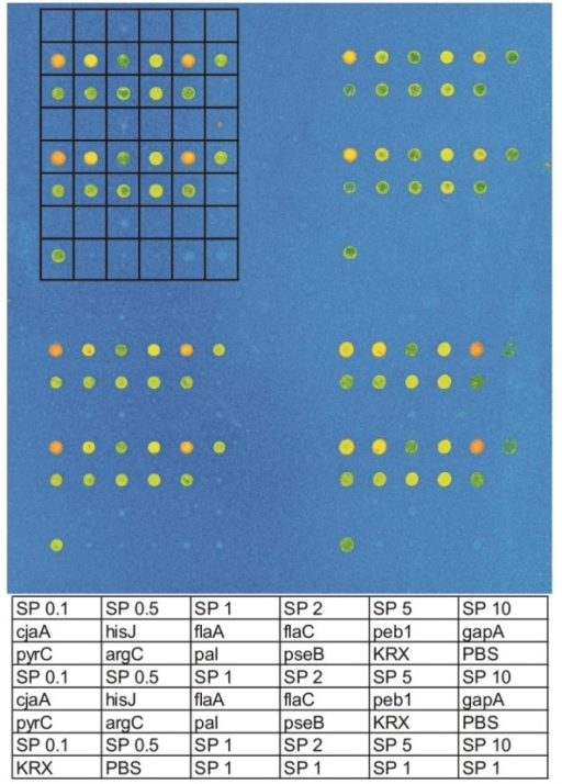 Spotting layout. The rectangular matrix within the picture marks one subarray. The corresponding samples are presented at the bottom. SP is the abbreviation for HaloTag® standard protein with the number referring to the concentration of standard protein in the spotted solution in μg/ml. The gene names refer to the locations were corresponding fusion protein was released, KRX is cell extract without any fusion protein and PBS represents the buffer control. Each sample was spotted at least in duplicate.
