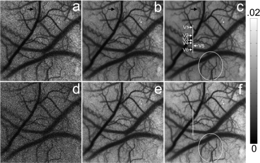 Structural imaging of rat's cerebral blood vessels: (a, b, c) show the contrast images  estimated from the first 2, 10 and 80 frames using random process estimator; (d, e, f) show the contrast images  estimated from the first 2, 10 and 80 frames using temporal LASCA.
