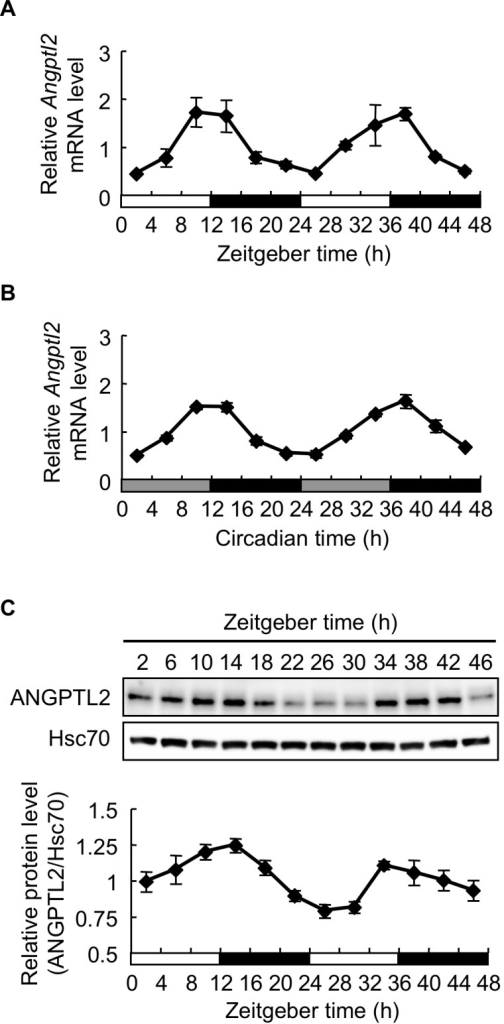 Periodicity of Angptl2 mRNA and protein expression in epididymal WAT.A and B, Temporal expression profiles of Angptl2 mRNA in epididymal WAT of mice housed under light/dark cycles (A) or under constant darkness (B). C, Upper panel: Representative image of immunoblotting of ANGPTL2 protein in epididymal WAT. Hsc70 served as a control. Lower panel: Quantification of ANGPTL2 protein levels relative to Hsc70. For mice housed under constant darkness, circadian time (CT) was used instead of Zeitgeber time. The average expression level of mRNA or protein across all time points was set to 1. Data are expressed as means ± S.E.M. (n  =  3–5 mice for each data point).