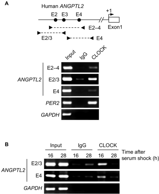 Endogenous CLOCK binds to E-boxes of the human ANGPTL2 promoter in U2OS cells.A, Upper panel: Schematic diagram of the location of primers flanking E-box sites of the human ANGPTL2 promoter. Arrowheads indicate specific primers. Lower panel: Representative image of ChIP assays showing CLOCK binding to E-box sites of ANGPTL2 and PER2 promoters in unsynchronized U2OS cells. Purified DNA fragments derived from immunoprecipitated chromatin complexes were analyzed by PCR using primers specific for the E-box sites of ANGPTL2 and PER2 promoters or for the GAPDH promoter (negative control). B, Representative image of ChIP assays showing oscillatory CLOCK binding to E-boxes of the human ANGPTL2 promoter in U2OS cells after serum shock. Chromatin was collected at 16 h and 28 h after serum shock and subjected to ChIP assays of the human ANGPTL2 promoter or of the GAPDH promoter (negative control). Each experiment was performed at least three times.